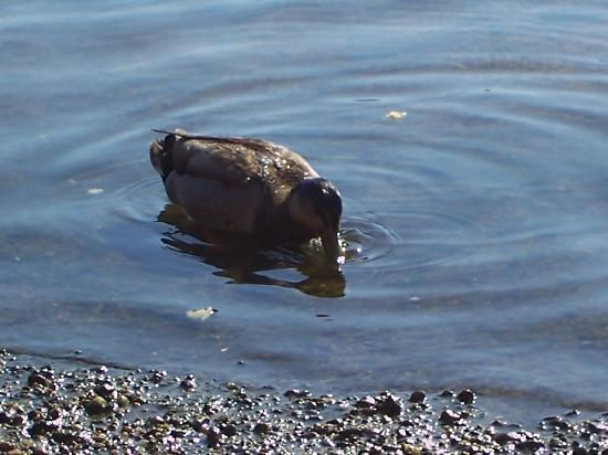 Green Harbor Waterfront Lodging: Feed The Ducks