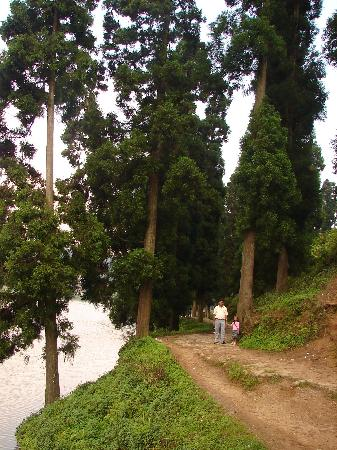 Mirik, Indien: The tall pine forest trees