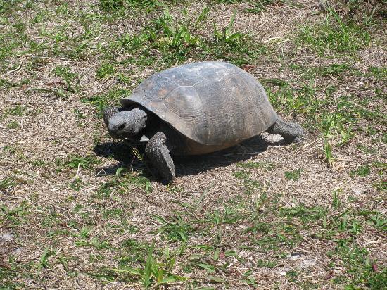 Caladesi Island State Park: Turtle that greeted us on Caladesi!