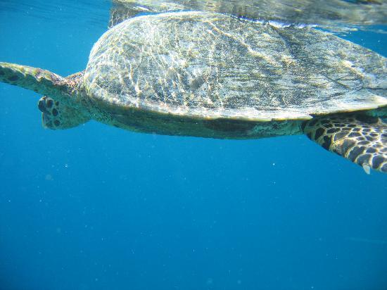 Thudufushi Island: Turtle