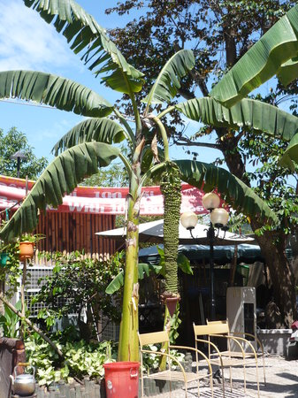 Ho Chi Minh City, Vietnam: Banana tree at Banana Restaurant
