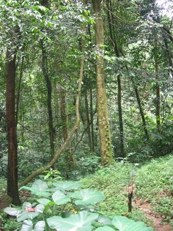 Drill Ranch: The walk up Afi Mountain thru rainforests