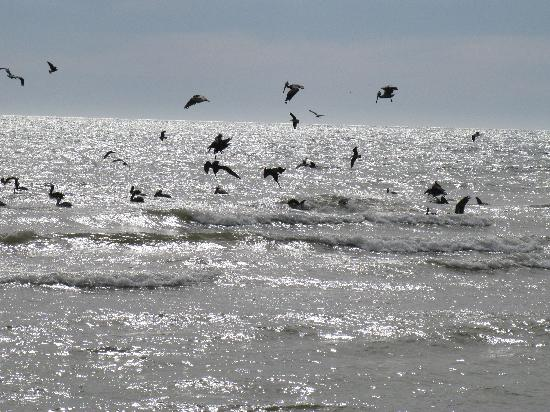 Playa Dorada Hotel: Sea Birds galore