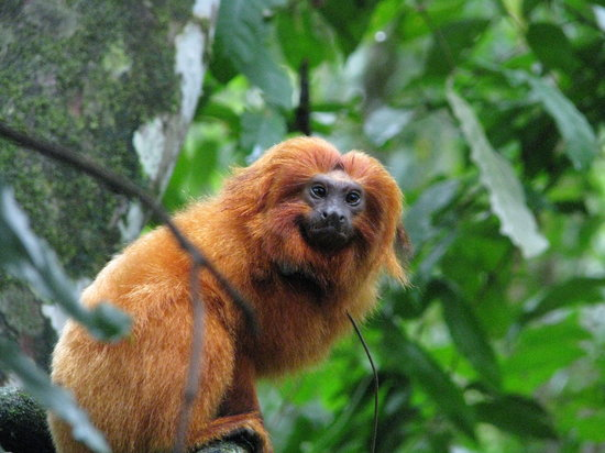 ‪ريو دي جانيرو: Golden Lion Tamarins‬