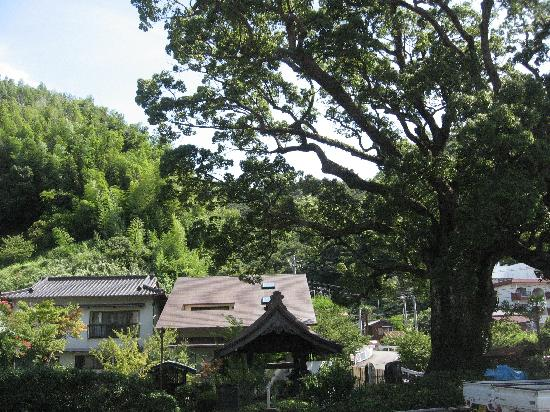 Anrakuji Temple: 山門前のクスノキの大樹