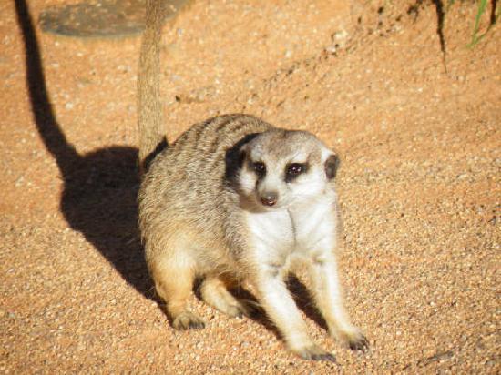 Barchan Dune Retreat: One of their lovely pet meerkats - or surikats