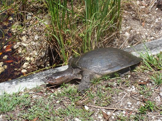 Everglades National Park, ฟลอริด้า: Turtle crossing the road