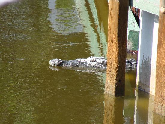 Everglades National Park, ฟลอริด้า: Croc under pier