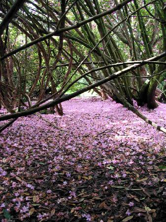 The Lost Gardens of Heligan: Rhododendron delight