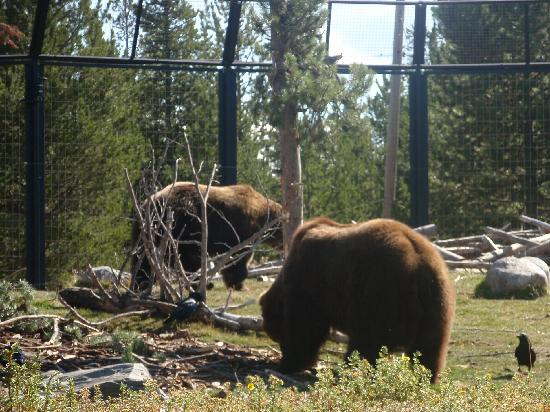 Best Western Weston Inn: visit the Grizzley/Wolf discovery center,W.Yellowstone