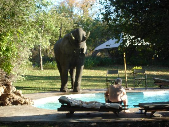 Muchenje Safari Lodge: Papa with an elephant on the pool