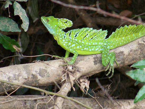 Cano Negro, كوستاريكا: Jesus Lizard in Cano Negro, Costa Rica