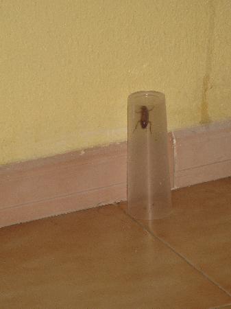 Aparthotel Playasol Mogambo : Cockroach