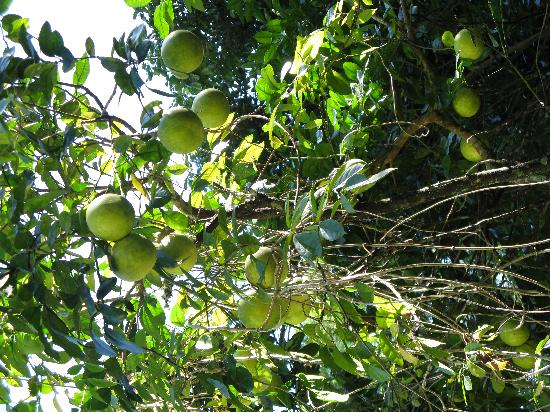 Red Mill House in Daintree: Grapefruit tree, Red Mill House garden, Daintree