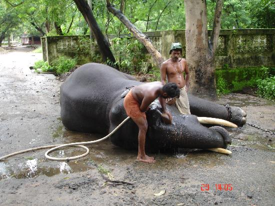 Punnathur Kotta (Anakkotta): Elephant taking showers