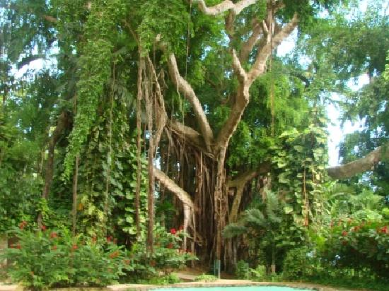 Shaw Park Gardens & Waterfalls : Banyon Tree