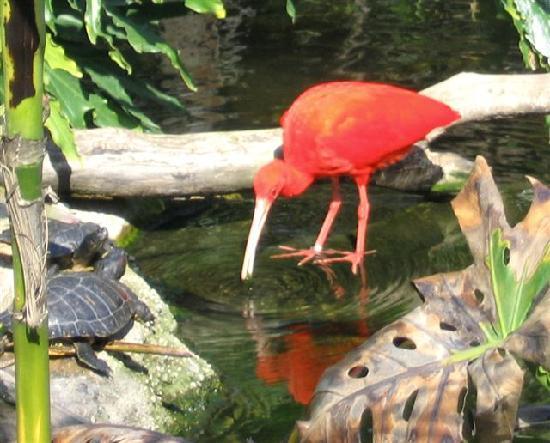 Santa Ana Zoo at Prentice Park : Fire bird?  Lovely