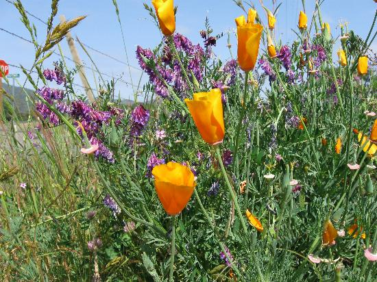 Meadow Creek Ranch Bed and Breakfast Inn: California wildflowers