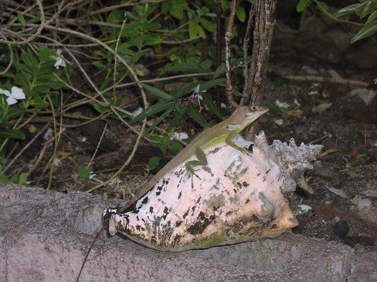 Grand Anse Beach Palace Hotel : A lizard in the garden at Grand Anse