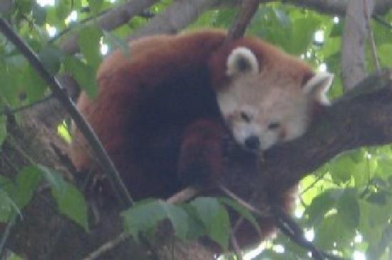 Antwerp Zoo (Dierentuin) : Sleepy Red Panda