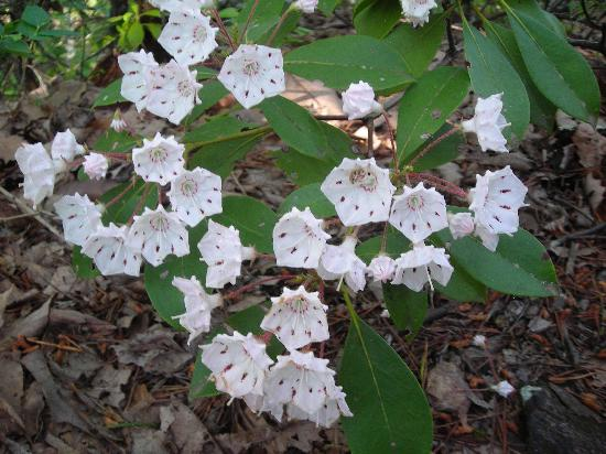 Crowders Mountain State Park : Mountain Laurel in bloom in May