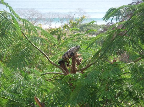 Casa MarBella: An iguana that stopped by to visit!
