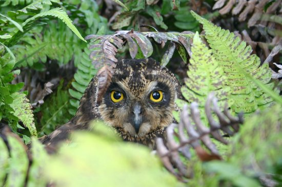 Galapagos Islands, Ecuador: short-eared owl on Santa Cruz Island