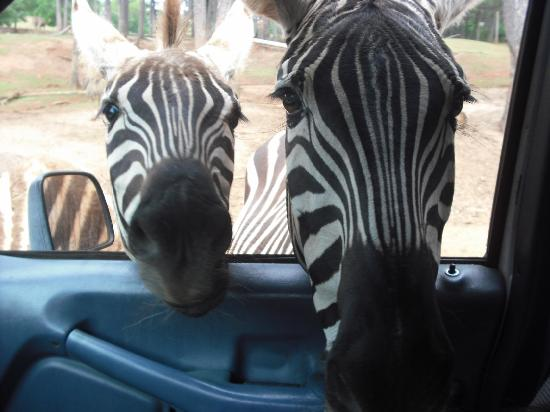 Pine Mountain, Georgien: Hello Zebra