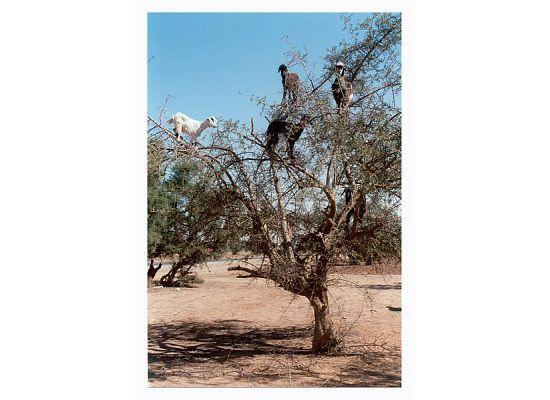 Dar El Kanoun : Famous goats in argan tree - we didn't see any ourselves, so Omar gave us a photo.