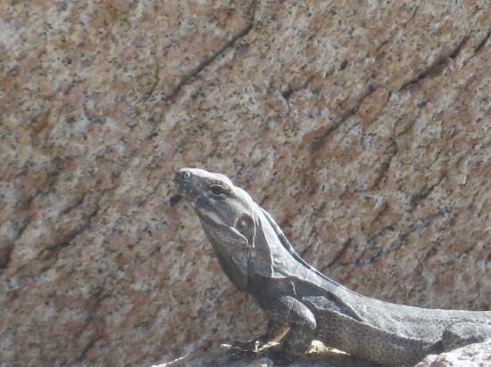 Baja Bungalows: Iguana at the beach