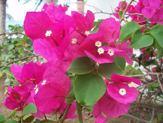 Isla de Vieques, Porto Rico: More flowers at Evamer