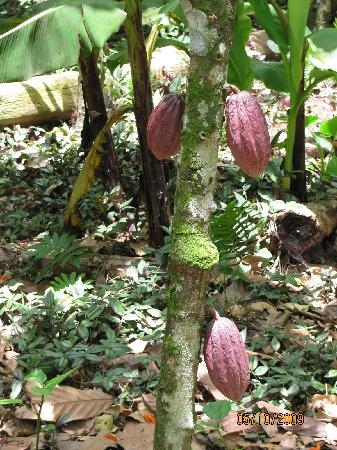 Posada Caribana: Museo del Cacao de Paria