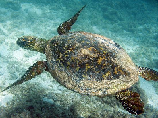 Cabo Pulmo Beach Resort: Green sea turtle at Playa Arbolito