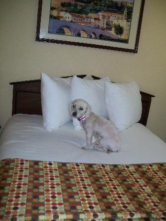 Selma, AL: Jake on the bed  :) (however he had his OWN bed he slept in)