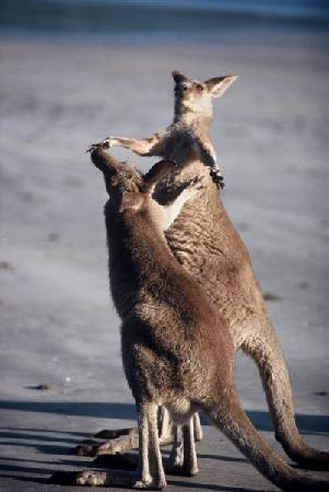 "Cape Hillsborough Nature Tourist Park: The kangaroos saying ""hello"" to eachother"