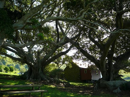 Bush Bank: The Cottage and ancient fig trees