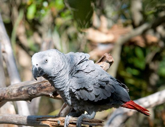 Dolphin Cove Cayman: African Gray