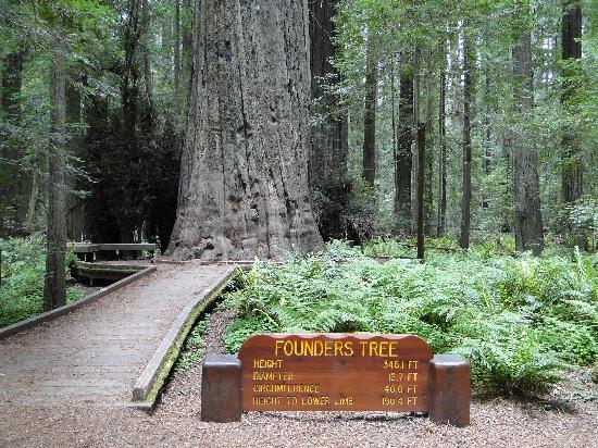 Humboldt Redwoods State Park Founder S Tree