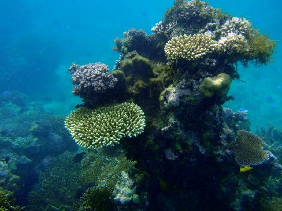 Toberua Island Resort: View of corals while snorkeling