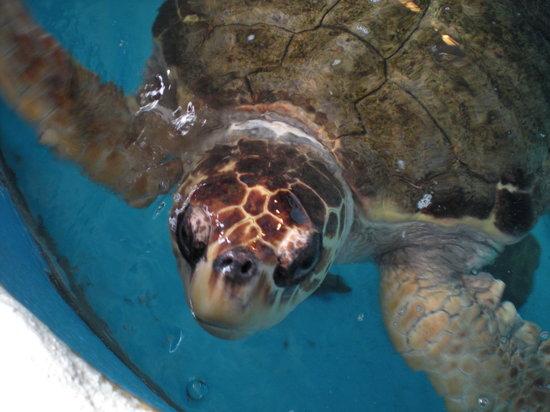 Mote Marine Laboratory and Aquarium: Turtles