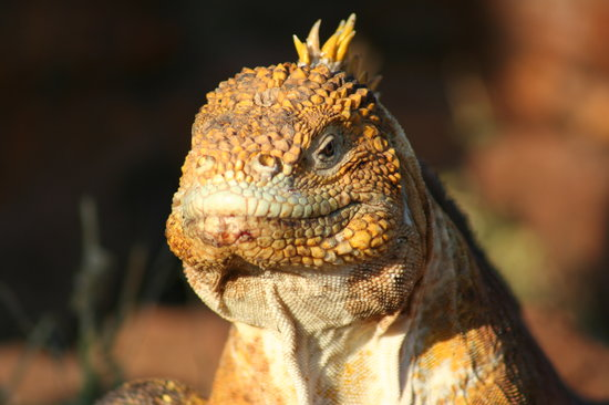Galapagos Islands, Ecuador: land iguana