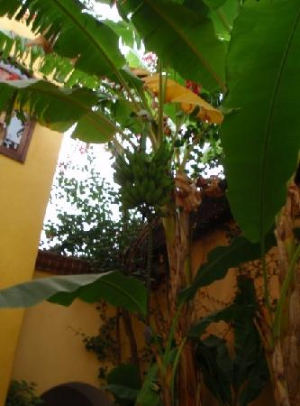 El Encanto Inn & Suites Boutique Hotel: Banana tree outside of our rooms