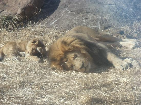 Sedgwick County Zoo: Lion with cubs