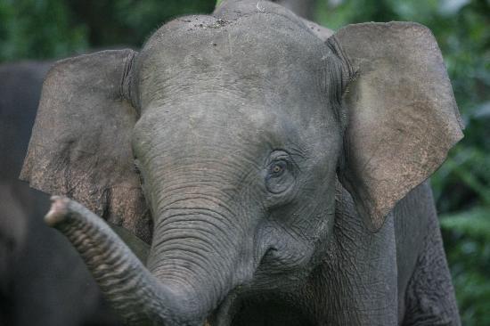 Trekkers Lodge Kinabatangan: Elephant