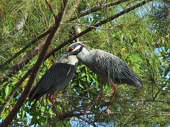 West-End Paradise: yellow crested night herons nesting