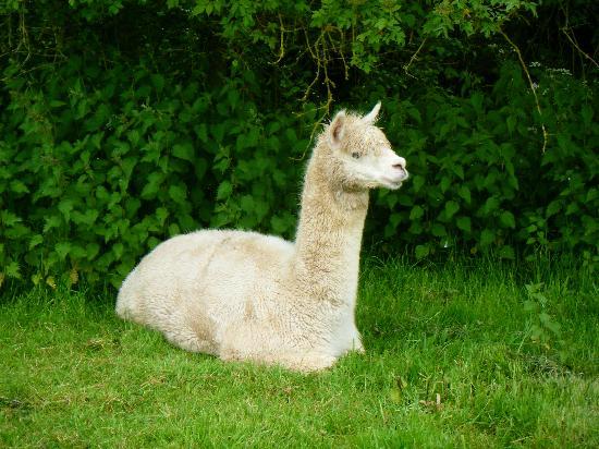 Brockhampton, UK: one of the beautiful alpacas