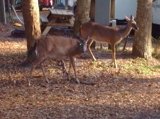 Hunting Island State Park Campground: deer raom throughout campsites