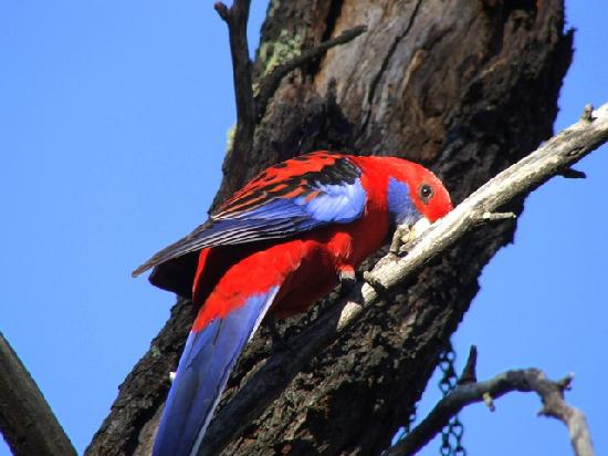 Rosella feeding at Kirima Cottages, Mudgee