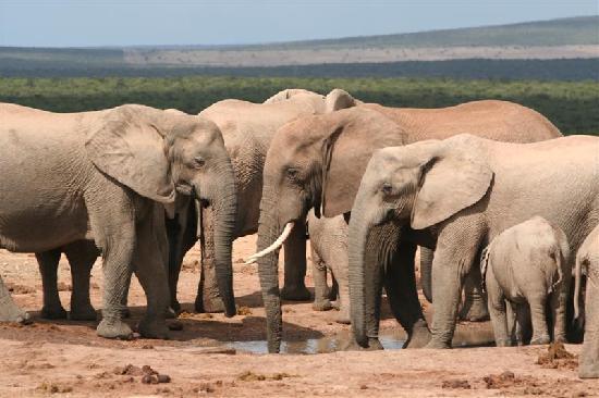 Kronenhoff Guest House: Elephants at nearby Addo.