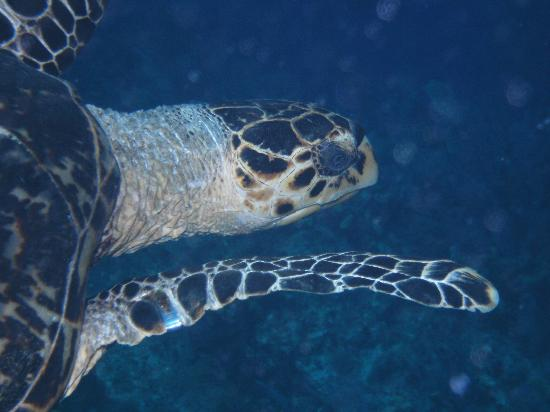 Little Cayman Beach Resort: Hawksbill Turtle